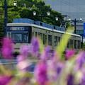 キンギョソウと路面電車