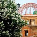 写真: 白い夾竹桃とドーム