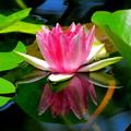 Water Lilies(睡蓮)