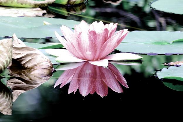 2)Water Lilies(睡蓮)