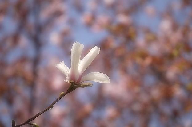 桜の中のコブシ