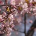 写真: やっと桜の季節