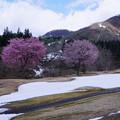写真: 残雪に桜咲く