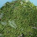 Photos: 今年の実山椒収穫01