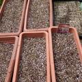 Photos: たまねぎ、白菜の種まき02