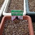 Photos: たまねぎの種まき02