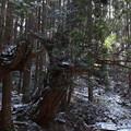 Photos: 株杉
