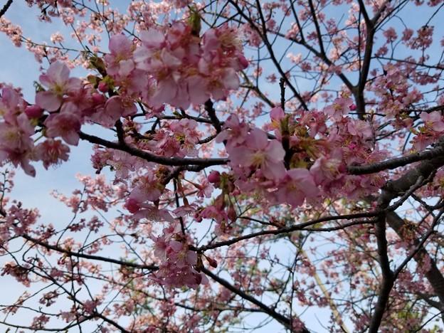 しらこ桜(河津桜)