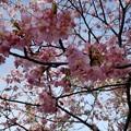Photos: しらこ桜(河津桜)