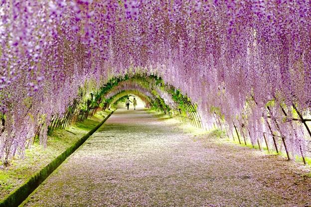 藤の花トンネル