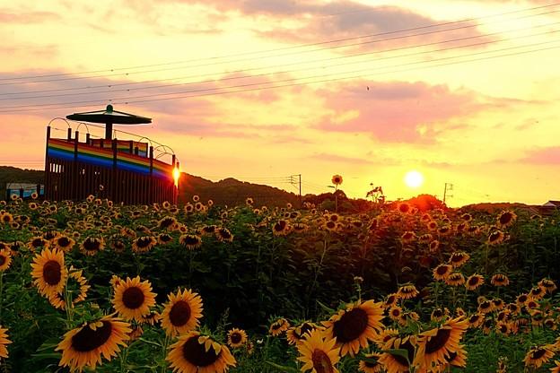 ひまわり畑の夕陽