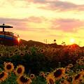 Photos: ひまわり畑の夕陽