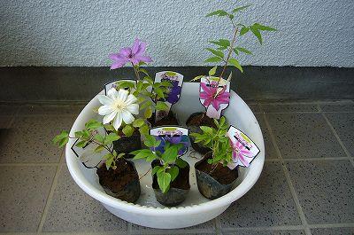 140502-4 クレマチスの苗6種