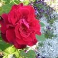 写真: 140507-2 赤いバラ
