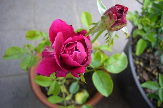 140625-2 赤紫のバラ