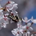 ギフチョウ(春の舞姫)と桜(1)