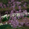 Photos: 枝垂れ桜と水仙