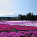 Photos: 富士山と芝桜