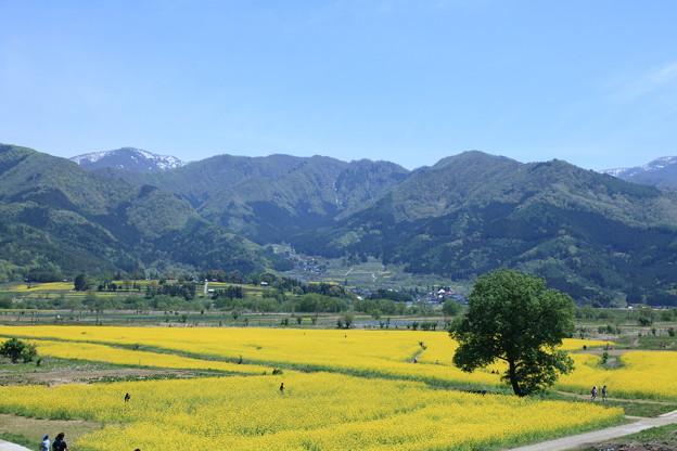 飯山 菜の花畑