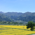 Photos: 飯山 菜の花畑