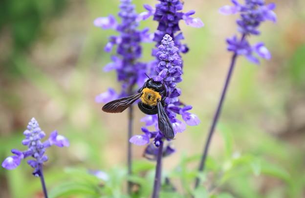 ブルーサルビアにクマバチさん、至福の時
