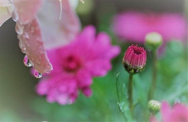 春の花 今朝の滴(1)