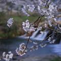 十二ヶ滝 桜(2)