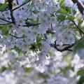 Photos: 白い桜 大島桜?