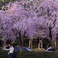 駐車場の枝垂れ桜