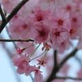 写真: ピンクの桜(1) 卯辰山百年の森
