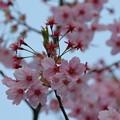 写真: ピンクの桜(2)卯辰山四百年の森