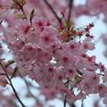 Photos: ピンクの桜(2)卯辰山四百年の森