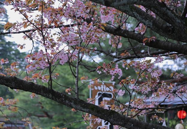 茶店の前の桜