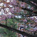 写真: 茶店の前の桜