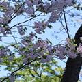 写真: 金沢城公園 八重桜
