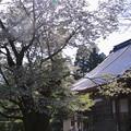 写真: 善正寺とゼンショウジキクザクラ