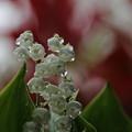 スズラン(2)春雨の中で
