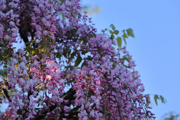 Photos: 松任グリーンパーク ピンクの藤