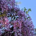 写真: 松任グリーンパーク ピンクの藤