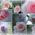 2種類の薔薇