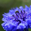 写真: ヤグルマギクに小さな蜂さん