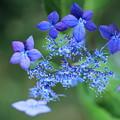 ヤマアジサイ 藍姫  空に瞬く星のように