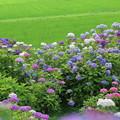 写真: 紫陽花と田んぼ   本興寺