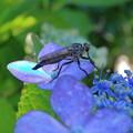 Photos: 紫陽花にアブ