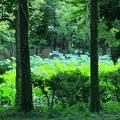 写真: 金沢・北部公園 ハスの池