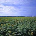ひまわり村 35万本のヒマワリの迷路