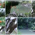 兼六園 瓢池 アオバズクの親子 オニユリ 翠滝と海石塔
