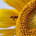 ミツバチとひまわり