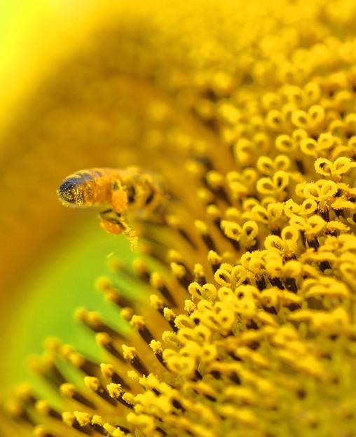 Photos: ミツバチさん 花芯に向かって