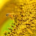 ミツバチさん 花芯に向かって